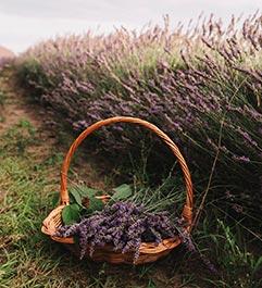 Basket of lavendar next to a field of lavendar